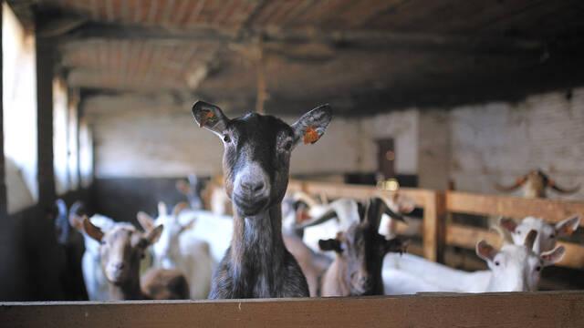Ah, Mr Desmet's famous goats!